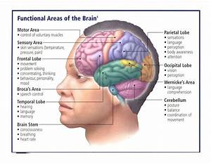 Functional Areas Of The Brain   Bulletin Board