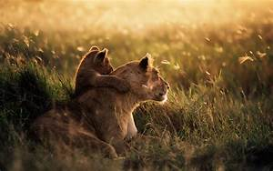 Wallpaper lion, cub, small, mom, wild desktop wallpaper ...