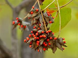 Rosary bean | PoultryDVM Toxic Plants A-Z
