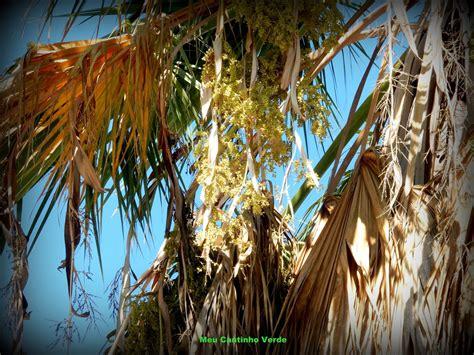 Meu Cantinho Verde: palmeira-de-saia-da-califórnia ...