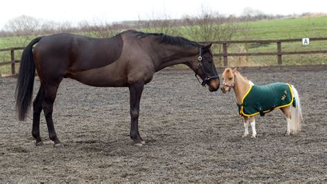 pony horses cute horse miniature ponies mini cutest mr tiny cheval playing
