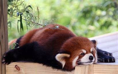 Panda Animals Anime Adorable Lazy Background Wallpapers