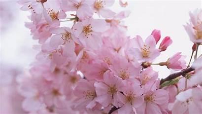 Sakura Petals Wallpapers 4k Ultra