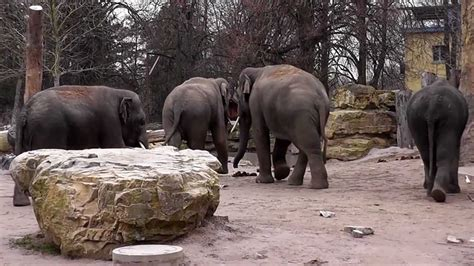 tierwelt elefanten im zoo heidelberg teil  youtube