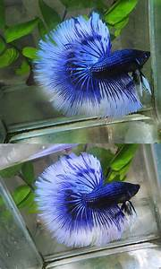 Light Blue Koi Fish Orchid Black Blue Butterfly Fancy Bettas Pinterest