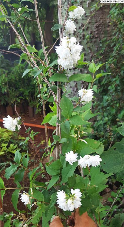 Viveiro Ciprest - Plantas Nativas e Exóticas: Coco Ralado ...