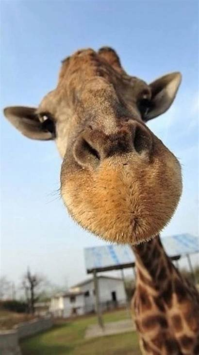 Animal Funny Animals Backgrounds Wallpapers Giraffe Iphone