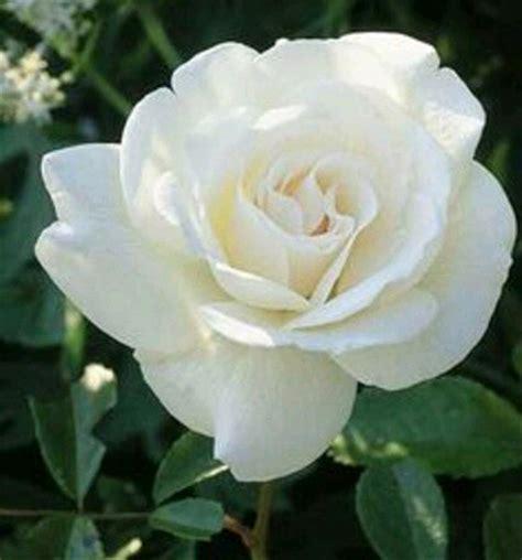 jual bibit tanaman bunga mawar putih  lapak