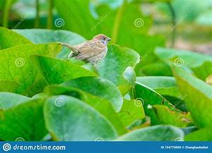 Sparrow On Water Lily Leaf Stock Image  Image Of Leaf