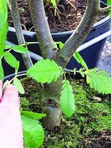 Bonsai Pflege Für Anfänger : die besten 25 bonsai baum ideen auf pinterest bonsai baum arten bonsai und japanischer ahorn ~ Frokenaadalensverden.com Haus und Dekorationen