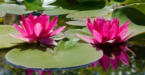 submersible water top ten aquatic plants for water gardens in east tennessee