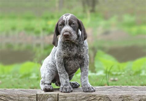German Shorthaired Pointer Puppies For Sale - AKC PuppyFinder