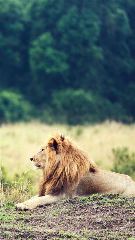wallpaper lion savanna trees animals