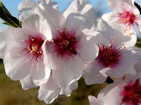 mandorlo da fiore fiori mandorlo fiori delle piante