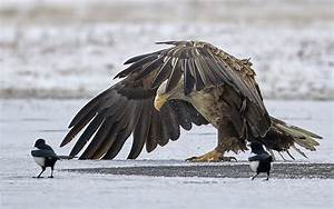 Elster Vogel Vertreiben : hintergrundbilder v gel winter tierwelt raubvogel ~ Lizthompson.info Haus und Dekorationen