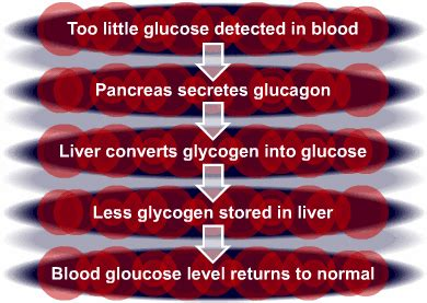 pancreas controlling glucose  cool  revision