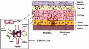 Skin Structure And Function  The Human Epidermis Evolves
