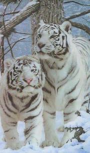 Pin by Janet Daniel on I love tigers | Tiger pictures ...