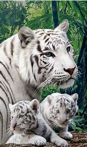 Bengal White Tiger Towel Madagascar Endanger Zoo Beach ...