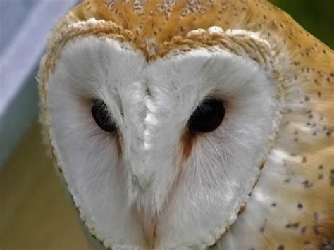 barn owl facts wilbur the barn owl interesting facts