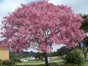 brautkleider aus tã ll the 2 minute gardener photo pink trumpet tree tabebuia impetiginosa