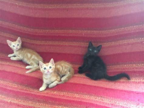 gattini persiani regalo gattini arancioni animali settembre clasf