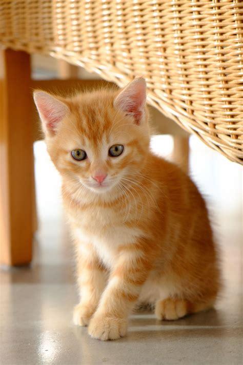Kawaii Neko 100 Cute Japanese Cat Names With Their