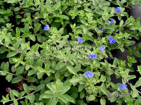 blue flower ground cover plants the greenery nursery and garden center