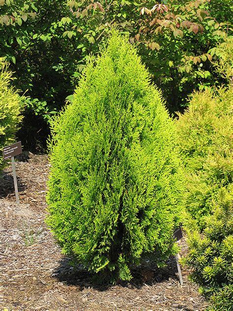 berkmans gold arborvitae thuja orientalis aurea nana
