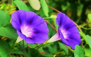 Morning glory Plant Care Tips: growing, planting, cutting ...