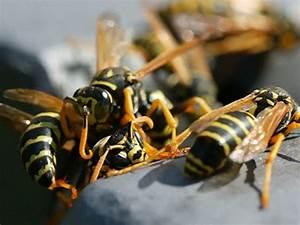 Welchen Geruch Mögen Wespen Nicht : die wespe ein n tzlicher plagegeist orf k rnten fernsehen ~ Whattoseeinmadrid.com Haus und Dekorationen