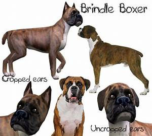 worlds biggest boxer dog