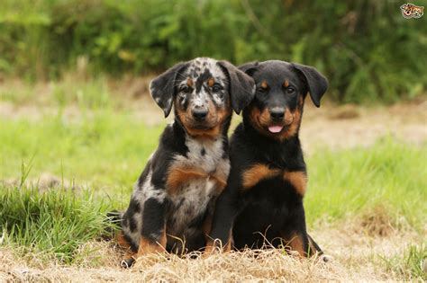 beauceron breed information buying advice photos and more pets4homes