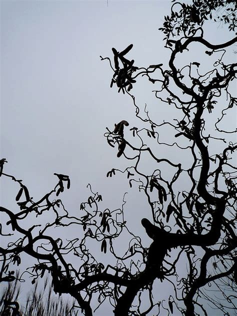 noisetier tortueux en pot 17 meilleures images 224 propos de d 233 j 224 dans mon jardin garden sur pois de senteur