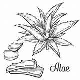 Aloe Vera Plant Drawing Hand Mano Dell Illustrazione Bianco Cactus Incisione Pianta Vettore Disegnata Della Vector Drawn Tattoo Ingrediente Medicina sketch template