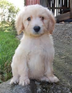 Goldendoodle Puppies Sale