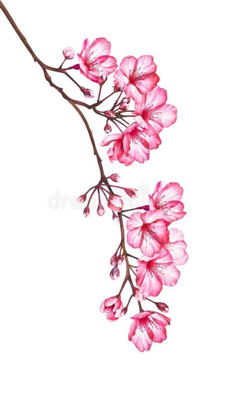 Flores De La Cereza En Un Fondo De La Acuarela Ilustración