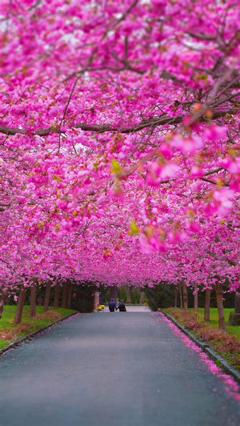 wallpaper trees   wallpaper sakura spring nature