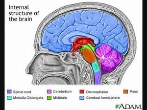 Brainstem and Pons - YouTube
