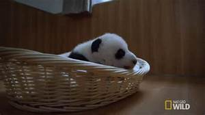 Panda Baby GIFs - Find & Share on GIPHY