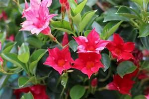 Dipladenia Gelbe Blätter : pflanzen f r die pralle sonne diese balkon und k belpflanzen eignen sich ~ Udekor.club Haus und Dekorationen