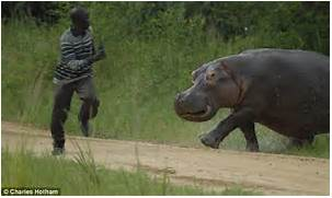 hippo turns on the gamekeeper after being disturbed while eating grass      Hippopotamus Eating People