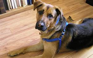 German Shepherd Lab Mix - Your Complete Breed Guide