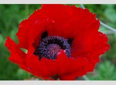 National Flower Of Belgium Red Poppy 123Countriescom