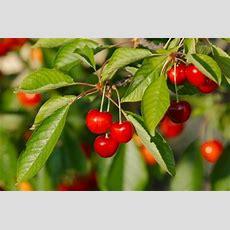 Fruit Trees For Zone 7 Gardens  Choosing Fruit Trees That
