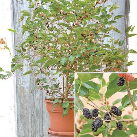 mulberry tree planting dwarf mulberry dwarf everbearing morus nigra hardy