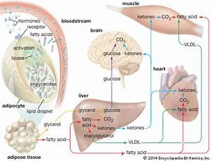 Fatty Acid Mobilization