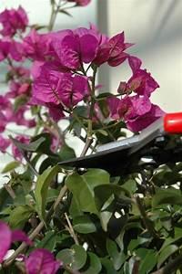 Wann Schneidet Man Hortensien Zurück : wie schneidet man bougainvilleen richtig zur ck meine pflanzenwelt des s dens ~ A.2002-acura-tl-radio.info Haus und Dekorationen