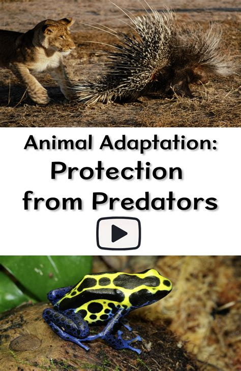 animal adaptation video  classroom examples