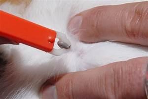 Comment Enlever Un Tique : comment retirer une tique sur un chat ~ Melissatoandfro.com Idées de Décoration
